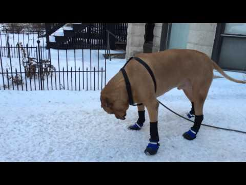 Dog Reluctantly Tries Out His New Snow Boots