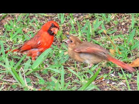 Northern Cardinal Father's Day - Dad Feeds Fledgling