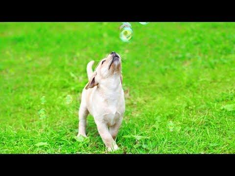 Funny Dogs and Puppies Chasing Bubbles - Funny Dog Videos (2018)