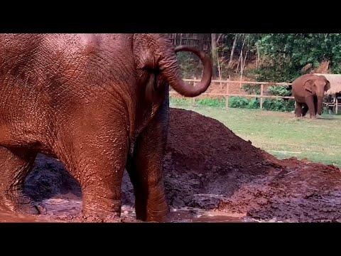 Elephant Walk To Join Her Friend For Mud Party