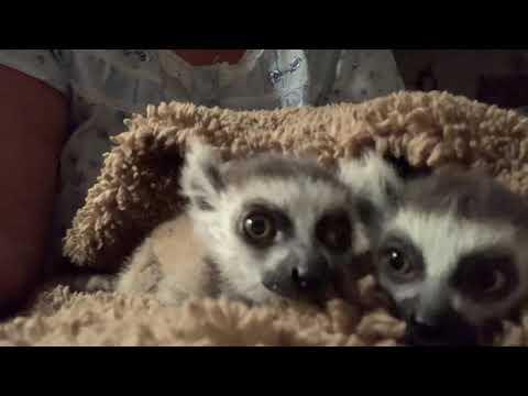 Adorable Lemurs Barking