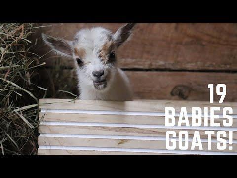 Baby Goat Field Trip to Sunflower Farm