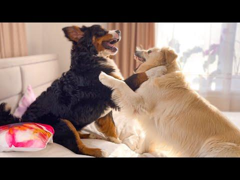 Golden retriever and Bernese Mountain Dog Fighting on the Bed #Video