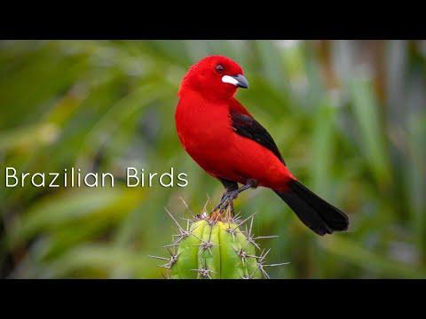 Brazilian Birds Singing Video - Aves brasileiras cantando
