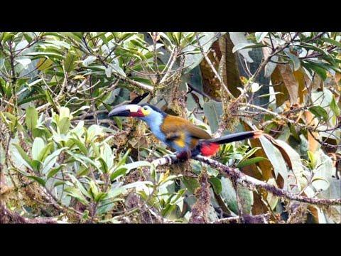 Plate-billed Mountain-toucan in Ecuador. Video.