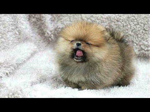 PUPPIES BARKING - Cute Puppy Barking Videos Compilation