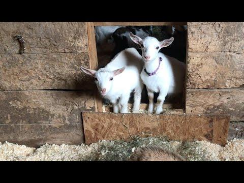 Bedtime for the 60 Baby Goats