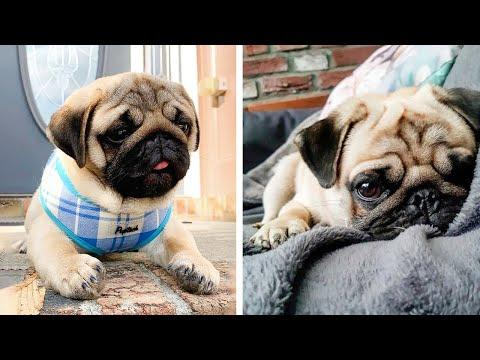 AWW SOO Cute and Funny Pug Puppies - Funniest Pug Ever #35 #Video