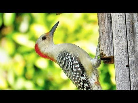 Red Bellied Woodpecker Couple Inspect Nest Box