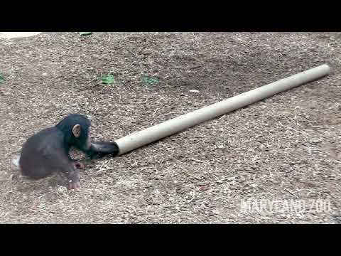 Baby Chimp Lola vs. Cardboard Tube Video