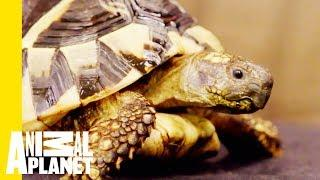 The Hermann's Tortoise Is The Most Low-Maintenance Pet | Scaled