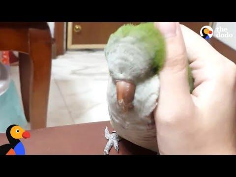 Bird Has The Cutest Way Of Asking Person For Pets | The Dodo