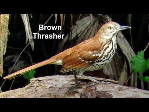 Brown Thrasher Birds