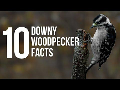 10 Fun Facts About Downy Woodpeckers Video