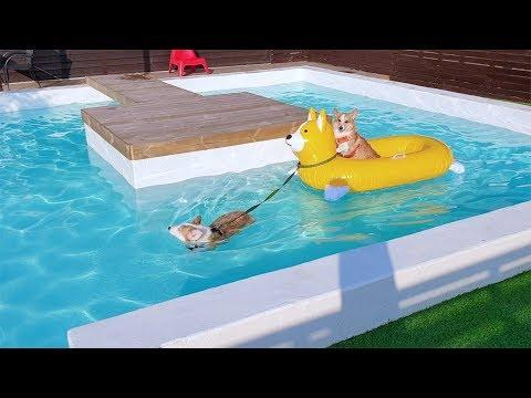 Is corgi a water dog???