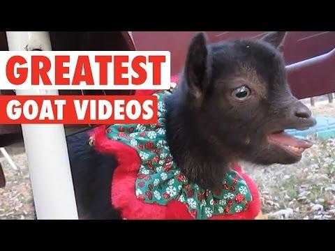 Greatest Goats || Awesome Compilation
