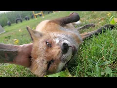 Happy Finnegan hehe Fox Friday #Video