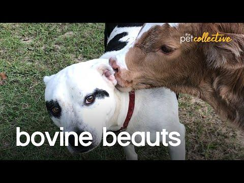 Bovine Beauts Video