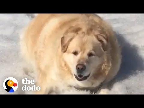 Watch This Chunky Golden Lose 100 Pounds Video