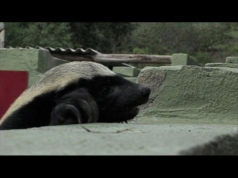 Honey Badger Houdini - Honey Badgers: Masters Of Mayhem
