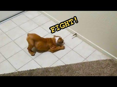 Funny Dogs and Puppies Video vs. Door Stops (2020)