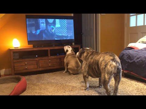 Bulldogs Frantically Warn TV Canine Of Danger in Classic Horror Scene #Video