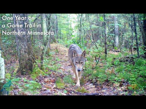 One year on a game trail in Northern Minnesota #Video