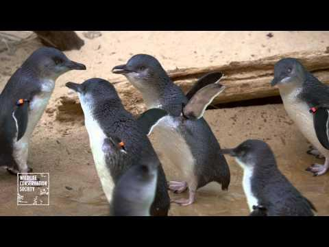 Little Blue Fairy Penguins
