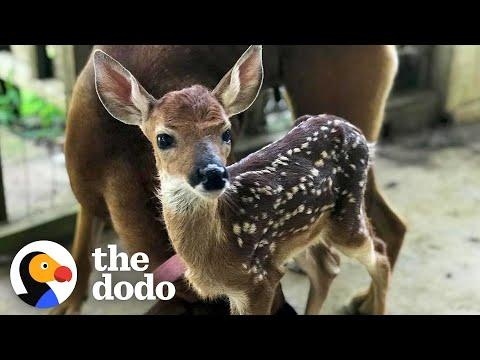 Fawn Comes To Lady's Door Every Morning. Video.