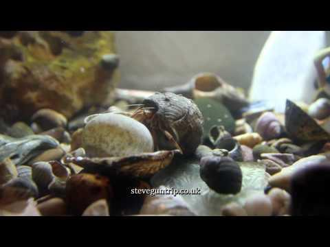 Hermit Crab Changes Shell - Slow Motion At The End.