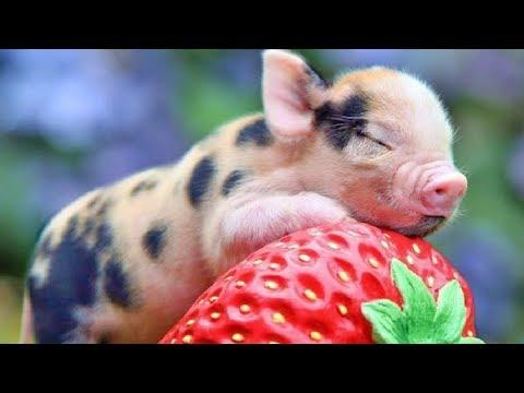 Cute Mini Pigs – Funny Mini Pig Videos – Funny Teacup Pigs – Cute Micro Pig – Funny Pig Videos