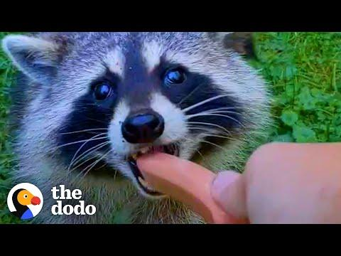 Guy Becomes BFFs with Raccoon and Her Baby Video