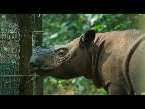 The World's Smallest Rhino is Going Extinct   Seven Worlds, One Planet   BBC Earth