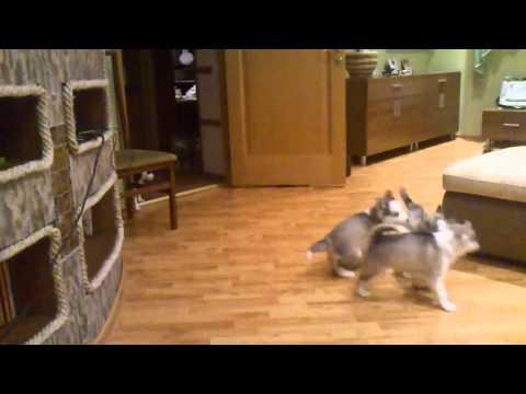 Husky Mom Plays With Her Litter Of Puppies