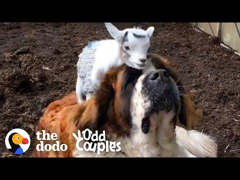 This Giant Mastiff Learns To Love Her Annoying Little Goat Brother | The Dodo Odd Couples