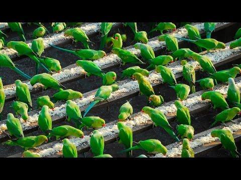 India's Birdman Feeds 4,000 Parakeets A Day