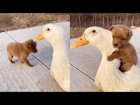 Adorable Puppy Loves Its Duck Buddy Video