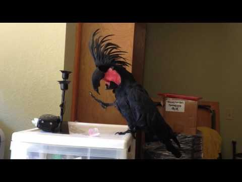Black Palm Cockatoo Loves the B-52's Video