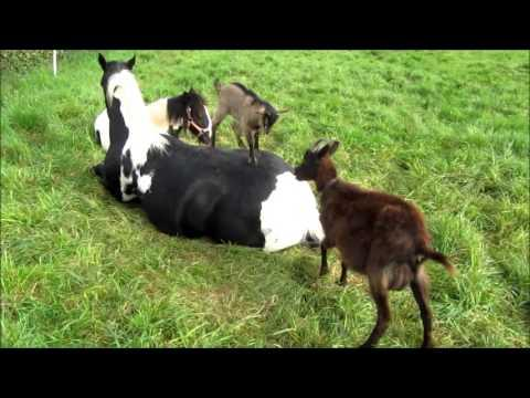 Goats Play On Relaxing Horse's Back
