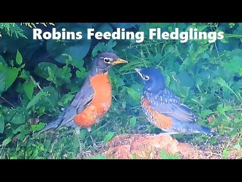 American Robin Parents Feeding Fledglings