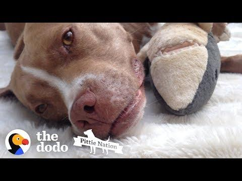 This Pittie Won't Go Anywhere Without Her Stuffed Shark | The Dodo Pittie Nation