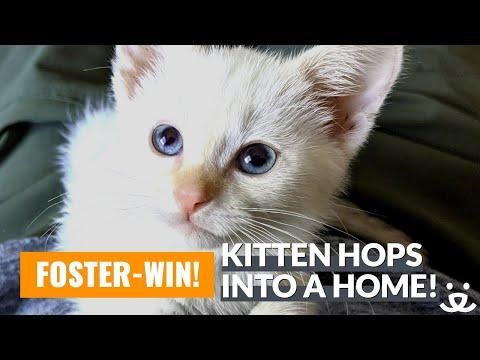 Foster-Win Video! Kitten with 3 legs hops into the heart of her foster