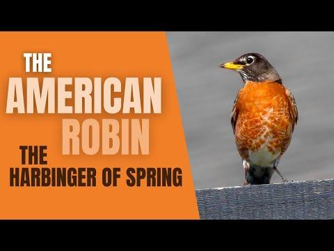 The AMERICAN ROBIN -A Harbinger of SPRING Video