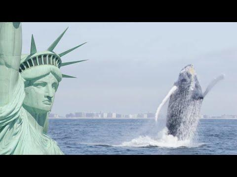 Humpback Whales Return To New York | Cities: Nature's New Wild