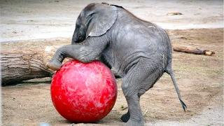 Baby Elephants are so funny you will die laughing - Funny Elephants compilation