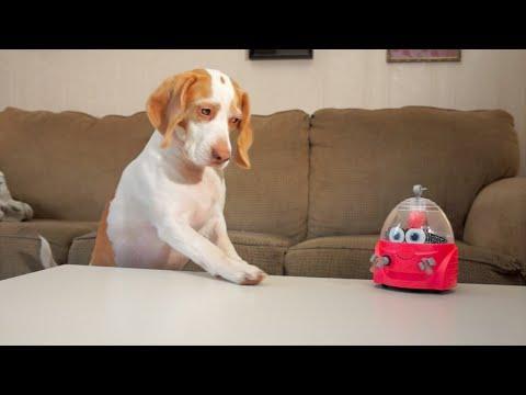 Dog Vs. Robot: Cute Dog Maymo