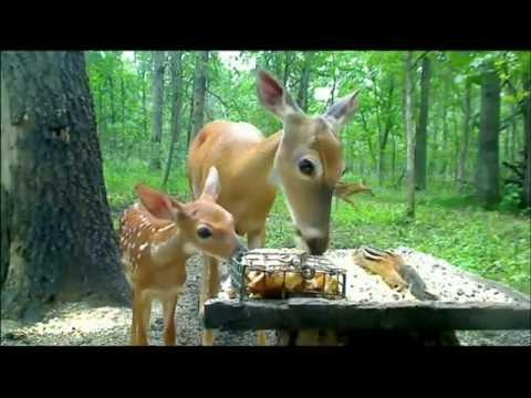 Doe with fawn video.