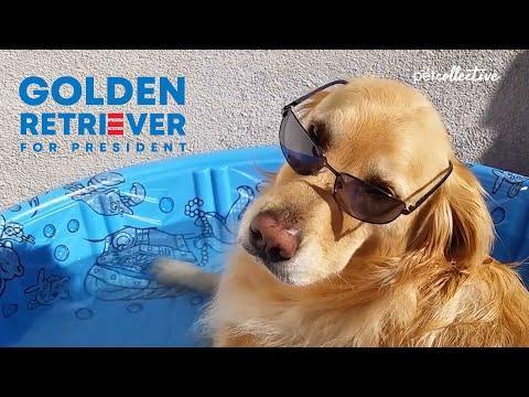 Golden Retriever 2020 Video