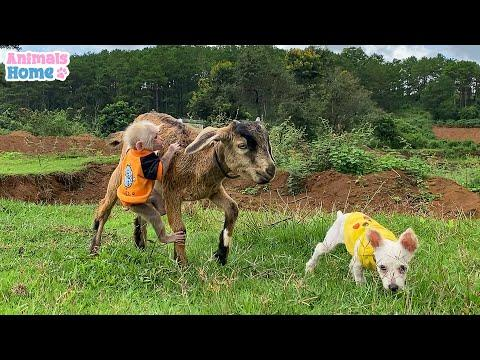 Monkey BiBi plays friendly with puppy and goat #Video