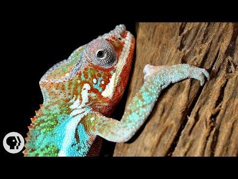 How Chameleons Really Change Color